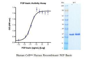 Human CellExp™ FGF-2/FGF-basic, Human Recombinant, BioVision
