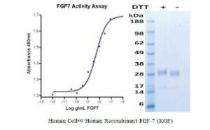Human CellExp™ FGF-7 (KGF), Human Recombinant, BioVision