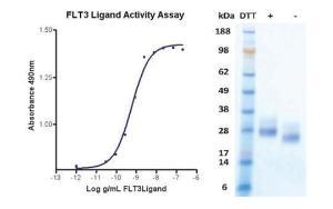 Human CellExp™ FLT-3 Ligand, Human Recombinant, BioVision