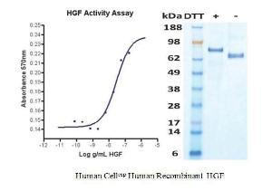 Human CellExp™ HGF, Human Recombinant, BioVision