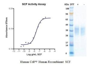 Human CellExp™ SCF, Human Recombinant, BioVision