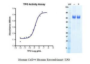 Human CellExp™ TPO, Human Recombinant, BioVision