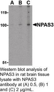 Anti-NPAS3 Rabbit Polyclonal Antibody