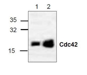 Western blot analysis of cdc42 in 3T3 (Lane 1) and Jurkat (Lane 2) cell lysate.