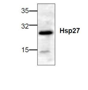 Western blot analysis of Hsp27 expression in rat tissue lysate.