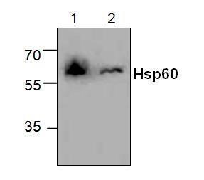Western blot analysis of Hsp60 using Jurkat cell lysate (Lane 1 &2).