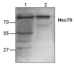 Western blot analysis of Hsc70 expression in Jurkat cell lysate (Lane 1) and mouse small intestine tissue lysate (Lane 2).