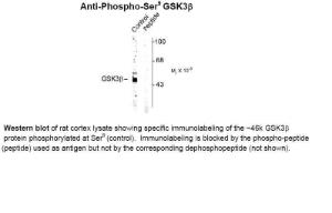 Western blot of rat cortex lysate showing specific immunolabeling of the ~46k GSK3beta protein phosphorylated at Ser9 (control). Immunolabeling is blocked by the phospho-peptide (peptide) used as antigen but not by the corresponding dephosphopeptide (not shown).