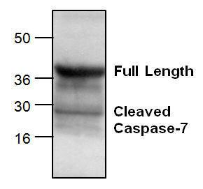 Western blot analysis of Caspase-7 expression with mouse small intestine tissue lysate.