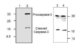 Caspase-3 Western blot analysis.<br />Lane 1, rh-Caspase-3 + blocking peptide<br />Lane 2, rh-Caspase-3<br />Lane 3, Jurkat cell lysate<br />Lane 4, Jurkat cell lysate