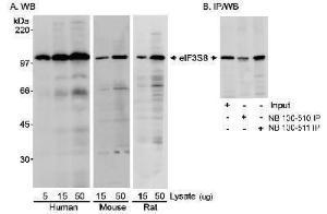 Anti-EIF3C Rabbit Polyclonal Antibody