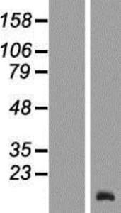 TCL6 Lysate (Adult Normal), Novus Biologicals (NBP2-09863)