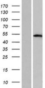 TFAP2D Lysate (Adult Normal), Novus Biologicals (NBP2-05173)
