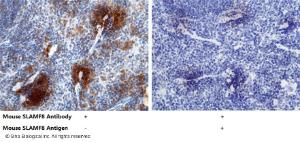 Anti-SLAMF8 Rabbit Monoclonal Antibody