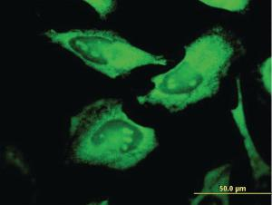 Anti-PROCR Mouse Monoclonal Antibody [clone: M2]