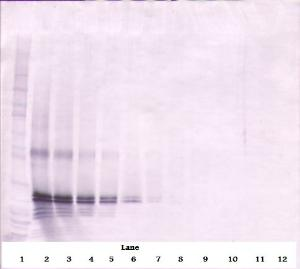 To detect hFGF-17 by Western Blot analysis this antibody can be used at a concentration of 0.1- 0.2 ug/ml. Used in conjunction with compatible secondary reagents the detection limit for recombinant hFGF-17 is 1.5-3.0 ng/lane, under either reducing or non-reducing conditions.
