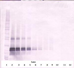 To detect hFGF-17 by Western Blot analysis this antibody can be used at a concentration of 0.1 - 0.2 ug/ml. Used in conjunction with compatible secondary reagents the detection limit for recombinant hFGF-17 is 1.5 - 3.0 ng/lane, under either reducing or non-reducing conditions.