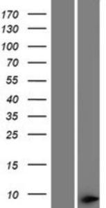 THAP1 Lysate (Adult Normal), Novus Biologicals (NBP2-04662)