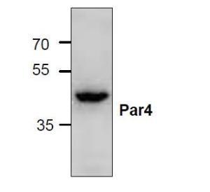 Western blot analysis ofPar4 expression inJurkat cell lysate.
