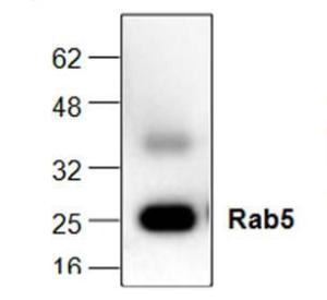 Western blot analysis ofRab5 expression in heatshocked HeLa cell lysate.
