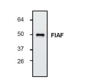 Western blot analysis of FIAFexpression in rat adipose tissueextract.