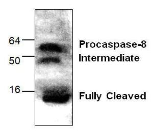 Western blot analysis of capsase-8 in Jurkat cell treated by camptothecin