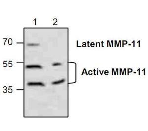 Western blot analysis of MMP-11 in Jurkat cell lysate (Lane 1& 2).