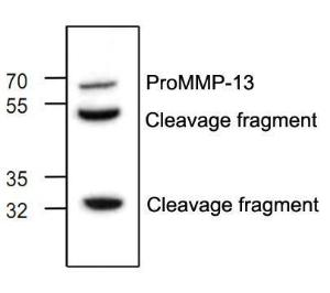 Western blot analysis ofMMP-13 expression withJurkat cell lysate.