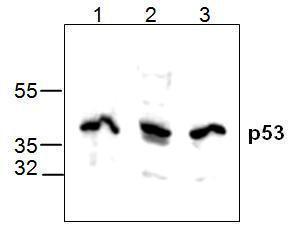 Western blot analysis of p53 in 3T3 (Lane 1) and Jurkat (Lane 2, 3) cell lysates