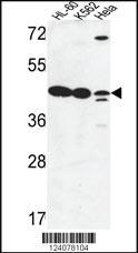 Anti-LFNG Rabbit Polyclonal Antibody