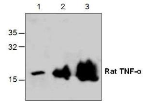 Western blot analysis with recombinant Rat TNF-α . Lane 1: 10 ng  Lane 2: 50 ng  Lane 3: 250 ng