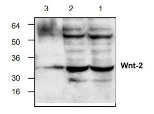 Western blot analyses of Wnt-2in Jurkat cell lysate (Lane 1,2)and mouse small intestinetissue lysate (Lane 3).
