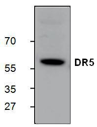 Western blot analysis of DR5 expression in Jurkat cell lysate