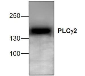 Western blot analysisof PLCγ2 expression inJurkat cell lysate.