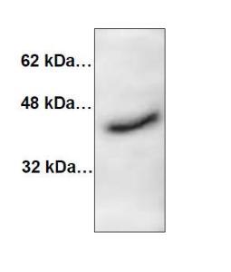 Anti-CTSK Rabbit Polyclonal Antibody