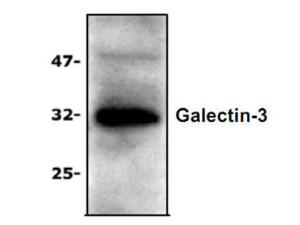 Western Blot Analysis ofGalectin-3 expression withJurkat Cell Lysate.