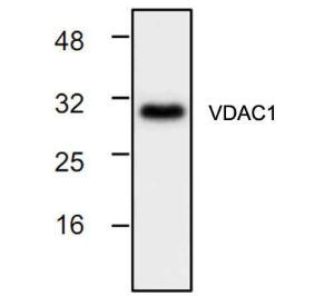 Western blot analysis of VDAC/Porin with 3T3 cell lysate.