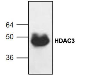 Western blot analysis ofHDAC3 expression inJurkat cell lysate.