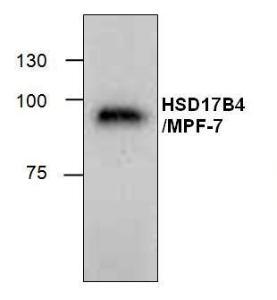 Cat. #: 3617-100 HSD17B4/MPF-2Antibody. Western blot analysis ofHSD17B4/MPF-2 using mouse 3T3 celllysate.