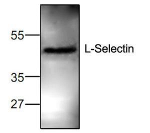 Western blot analysis ofL-Selectin expression inJurkat cell lysate.