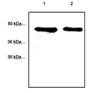 Anti-CYR61 Rabbit Polyclonal Antibody
