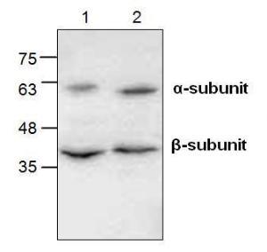 Western blot analysis of EMR2 inJurkat cell lysate (Lane 1 & 2).