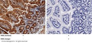 Anti-VNN1 Rabbit Polyclonal Antibody