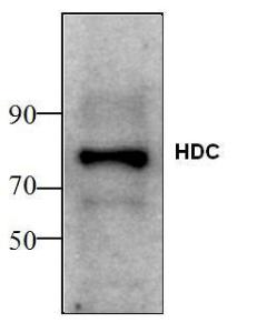 Western blot analysis ofHDC expression in ratfetal liver tissue lysate.