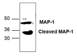 Western blot analysis ofMAP-1 expression in mousesmall intestine tissue lysate.