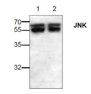 Western blot analysis ofJNK expression in Jurkatcell lysates (Lane 1, 2).