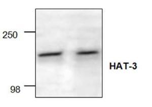 Western blot analysisof HAT-3 expressionwith Jurkat cell lysate.