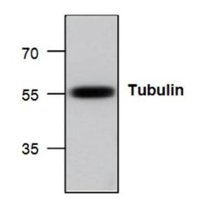 Western blot analysisof Tubulin in HeLa celllysate.