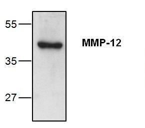 Western blot analysis ofMMP-12 expressionin mouse small intestinetissue lysate.