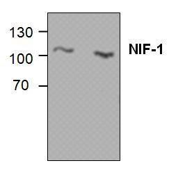Western blot analysis of NIF-1 in Jurkat cell lysate (Lane1& 2).